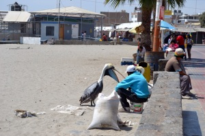 Man feeding pelican