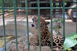 The Jaguar was pretty active!