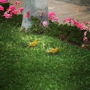Birds on the lawn at Museo Pedro de Osma