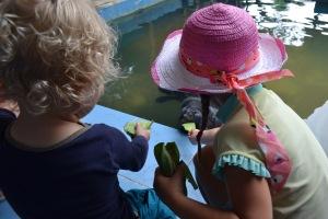 Feeding the manatees